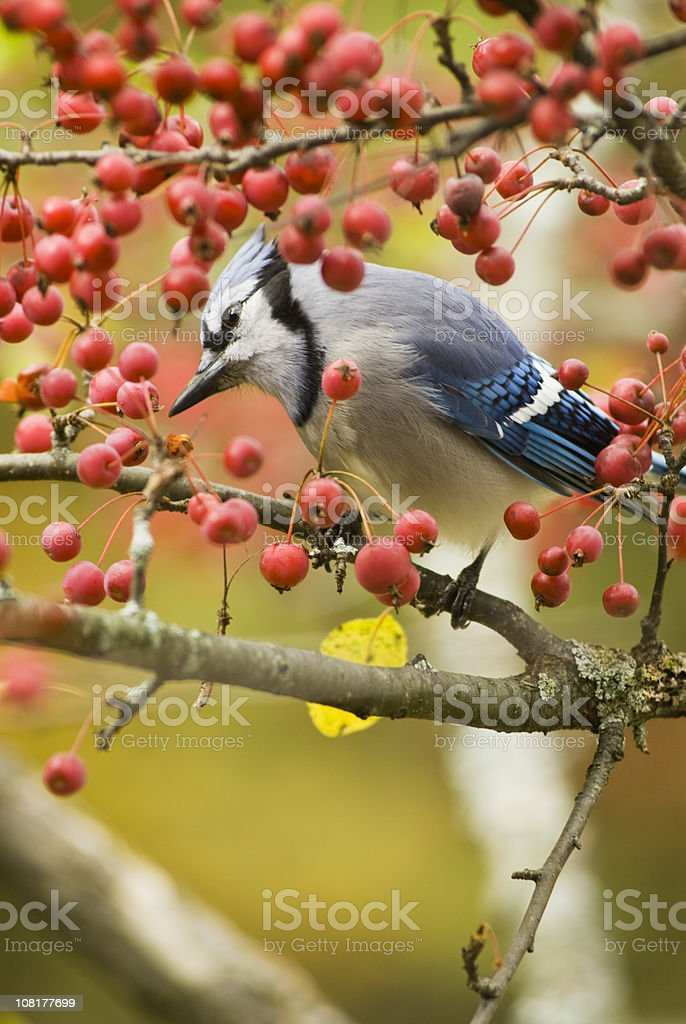 Blue Jay Bird Perched on Crab Apple Branch royalty-free stock photo