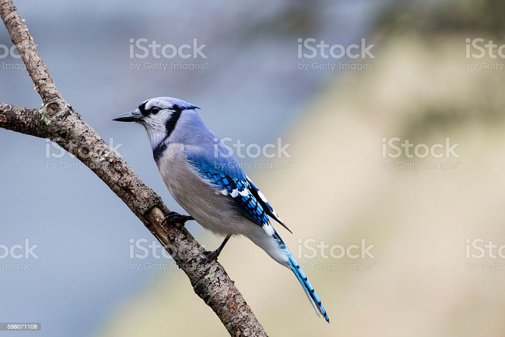 Blue Jay (Cyanocitta cristata) Closeup stock photo