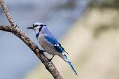 Blue Jay (Cyanocitta cristata) Closeup