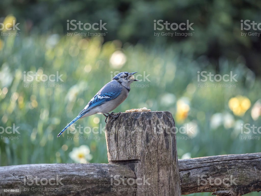 blue jay Cyanocitta cristata stock photo