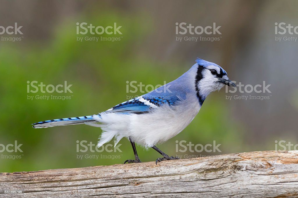 Blue Jay, cyanocitta cristata stock photo
