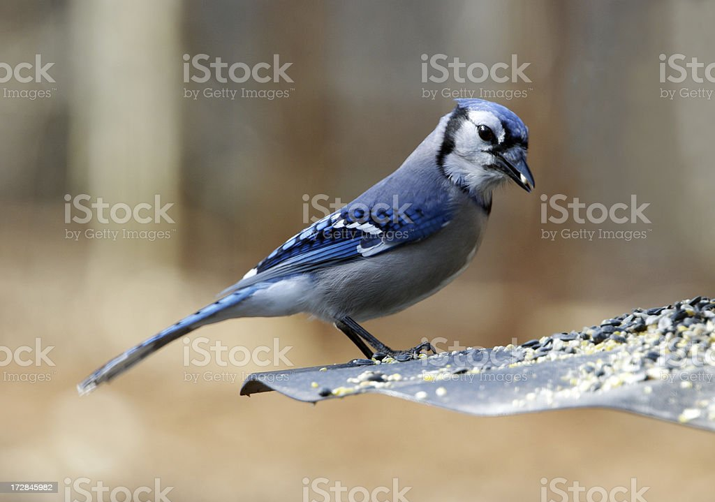 Blue Jay Eating Seed royalty-free stock photo