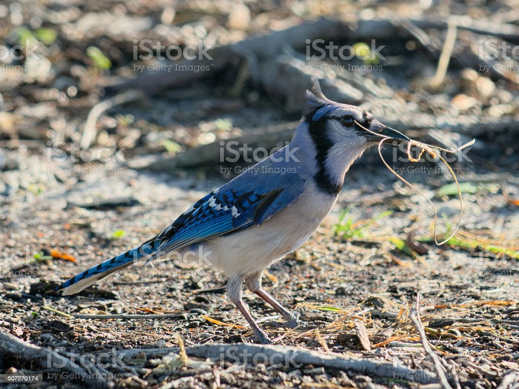 Blue Jay Gathering Material For Nest stock photo