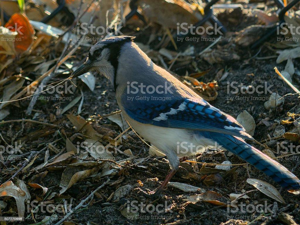 Blue Jay Gathering Nesting Materials on Ground stock photo
