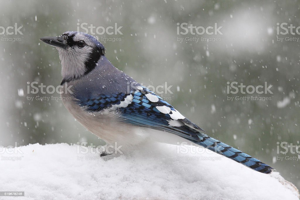 Blue Jay in A Snow Storm stock photo