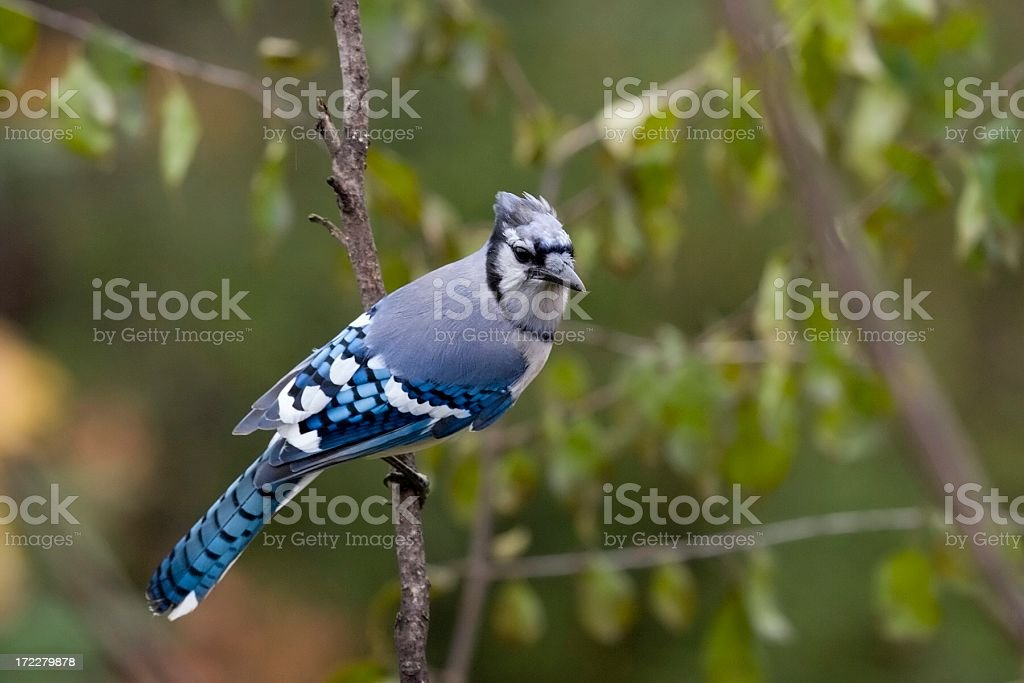 Blue Jay in the Fall royalty-free stock photo