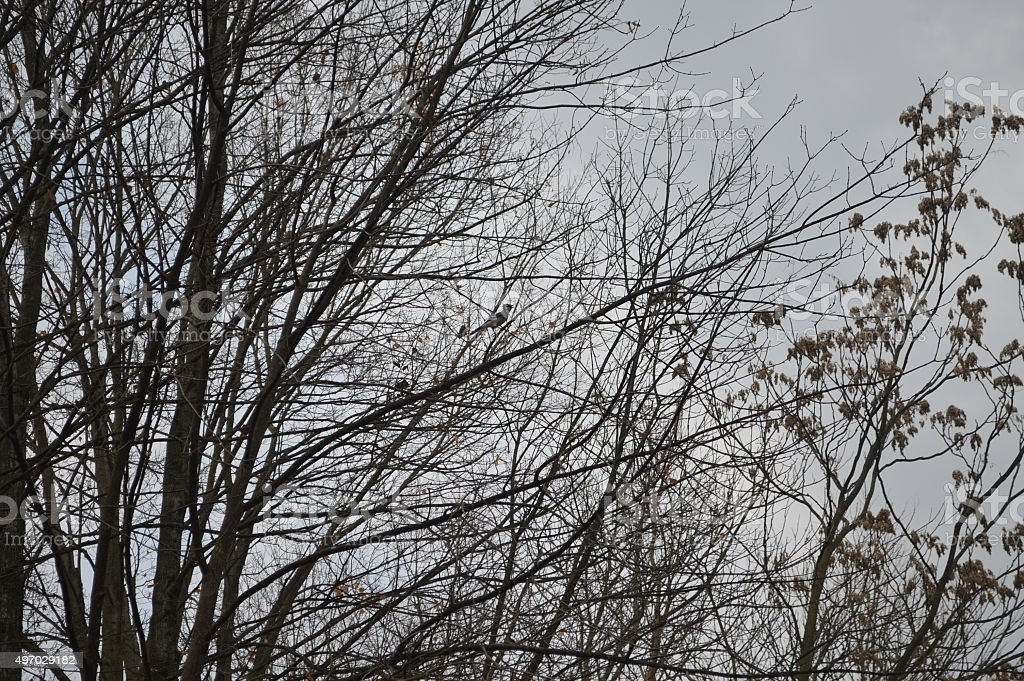 Blue Jay in tree against cloudy sky stock photo