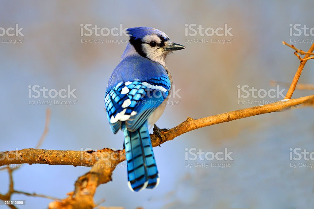 Blue Jay in Tree stock photo