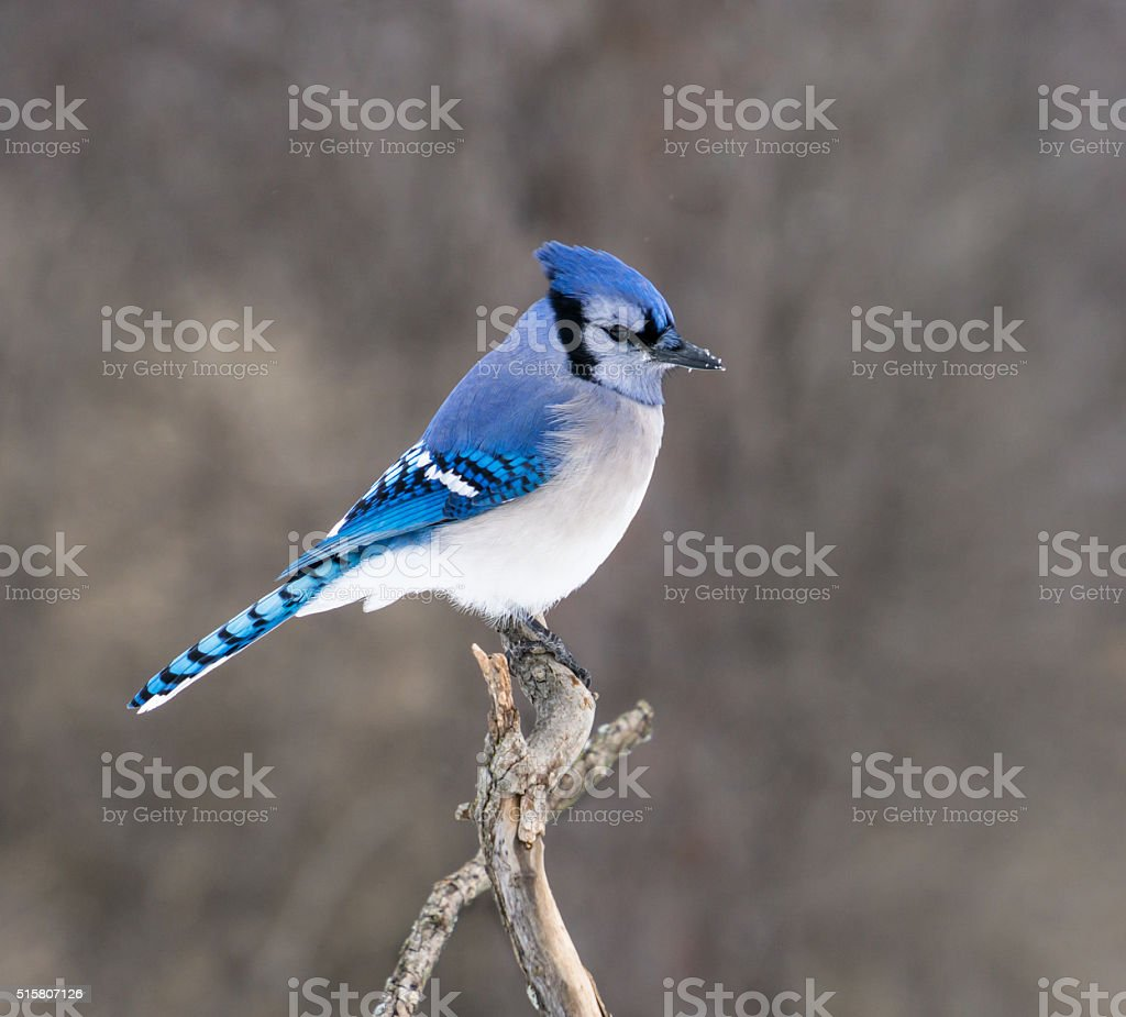 Blue Jay in Winter stock photo