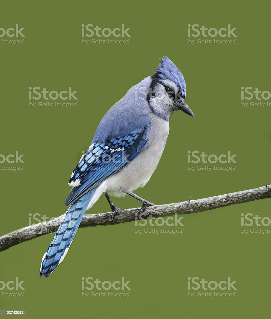 Blue Jay on Green Background stock photo