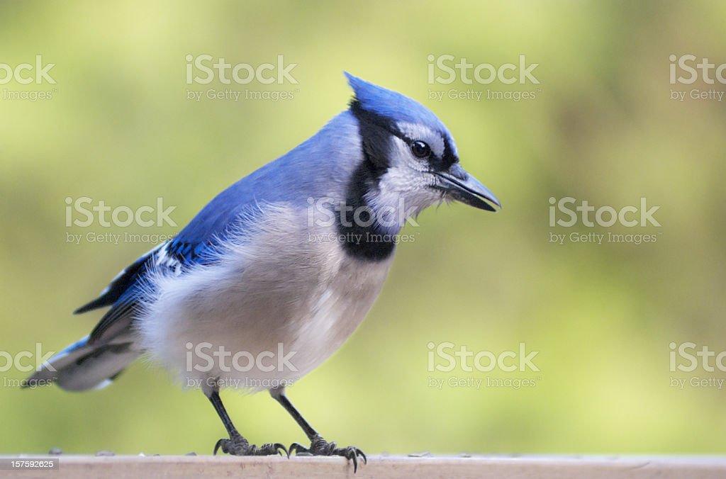 blue jay - on the railing royalty-free stock photo