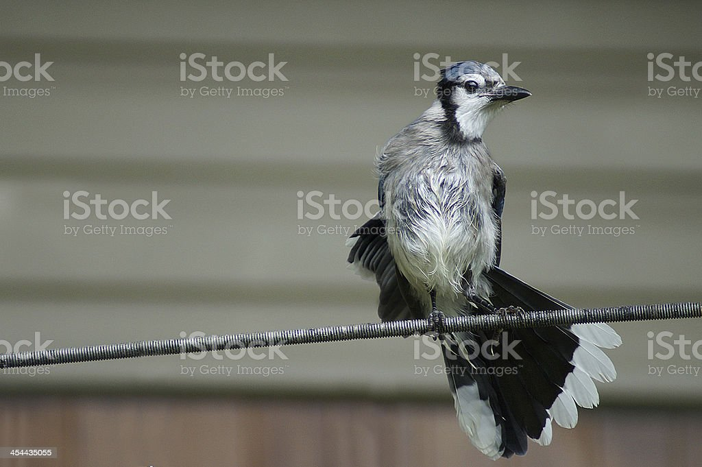 Blue jay open wings royalty-free stock photo