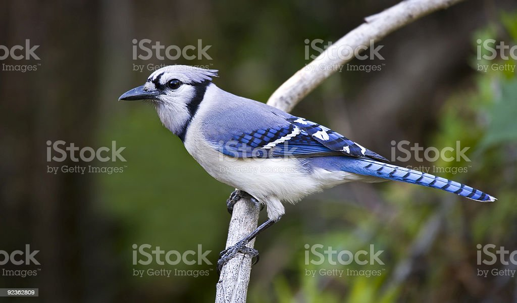 Blue Jay Perched on a branch royalty-free stock photo