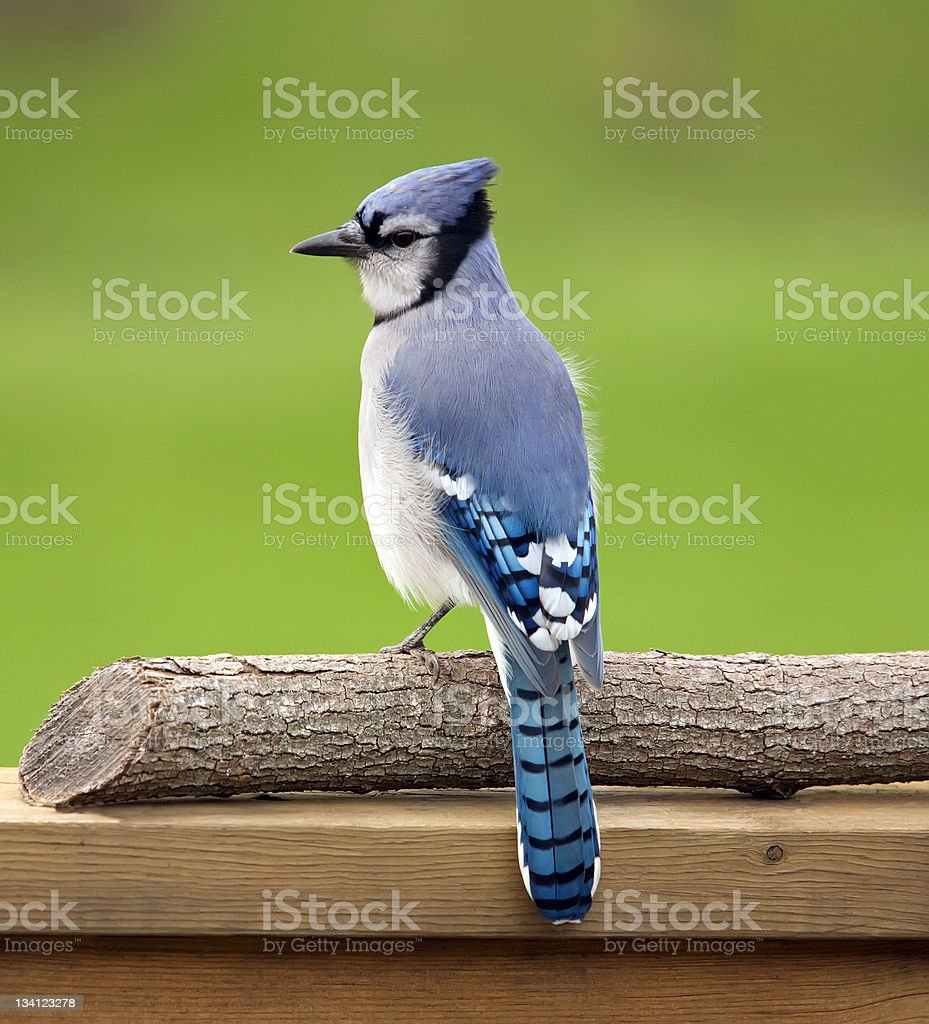 Blue jay perched on a deck rail. stock photo