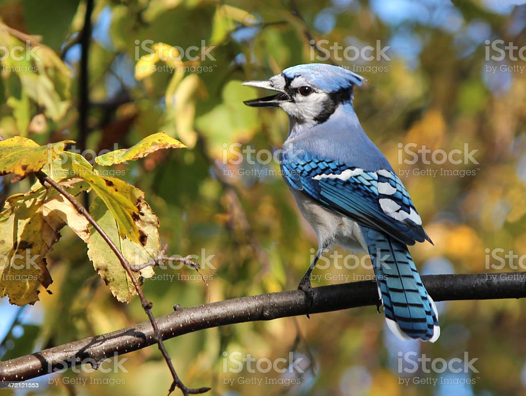 Image result for blue jay in autumn