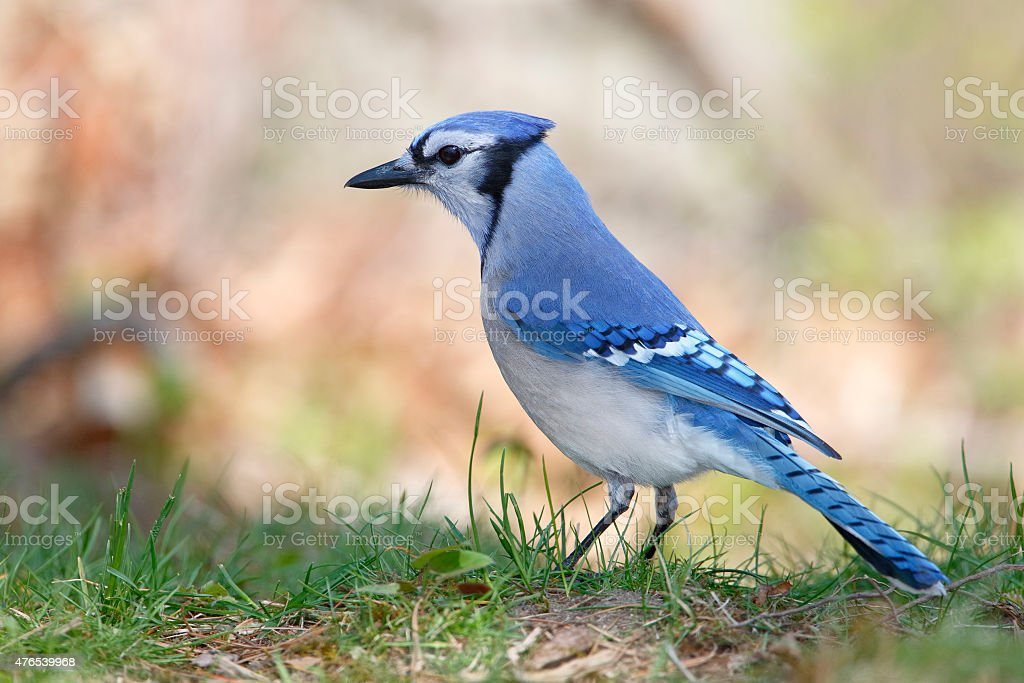 Blue Jay Perched on the Ground stock photo