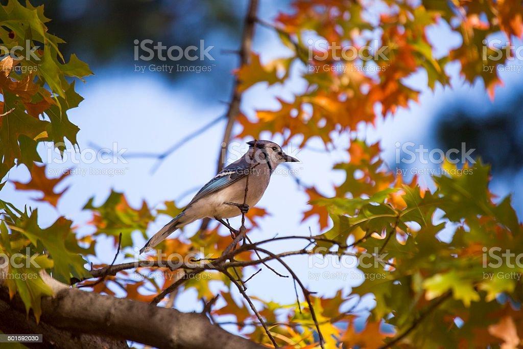 Blue Jay (Cyanocitta cristata) stock photo