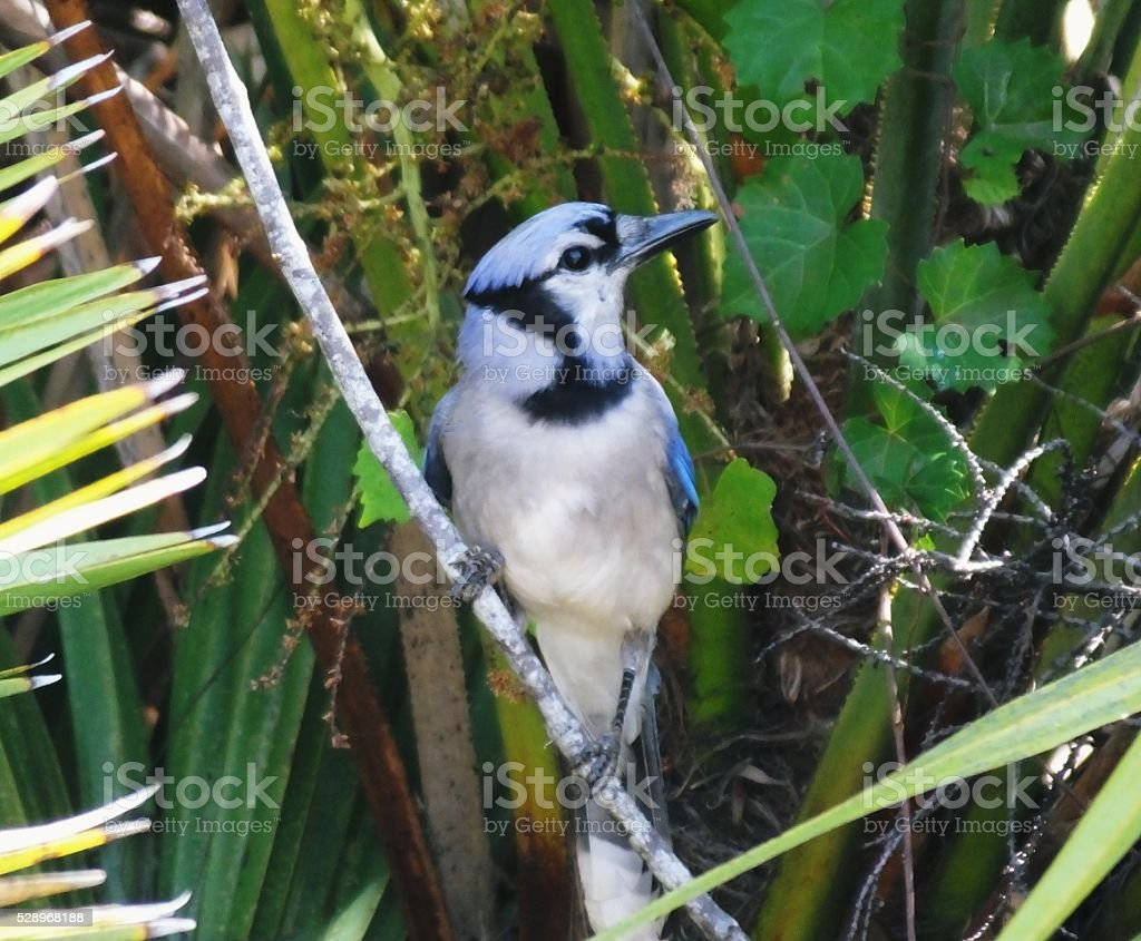 Blue Jay (Cyanocitta cristata) stock photo