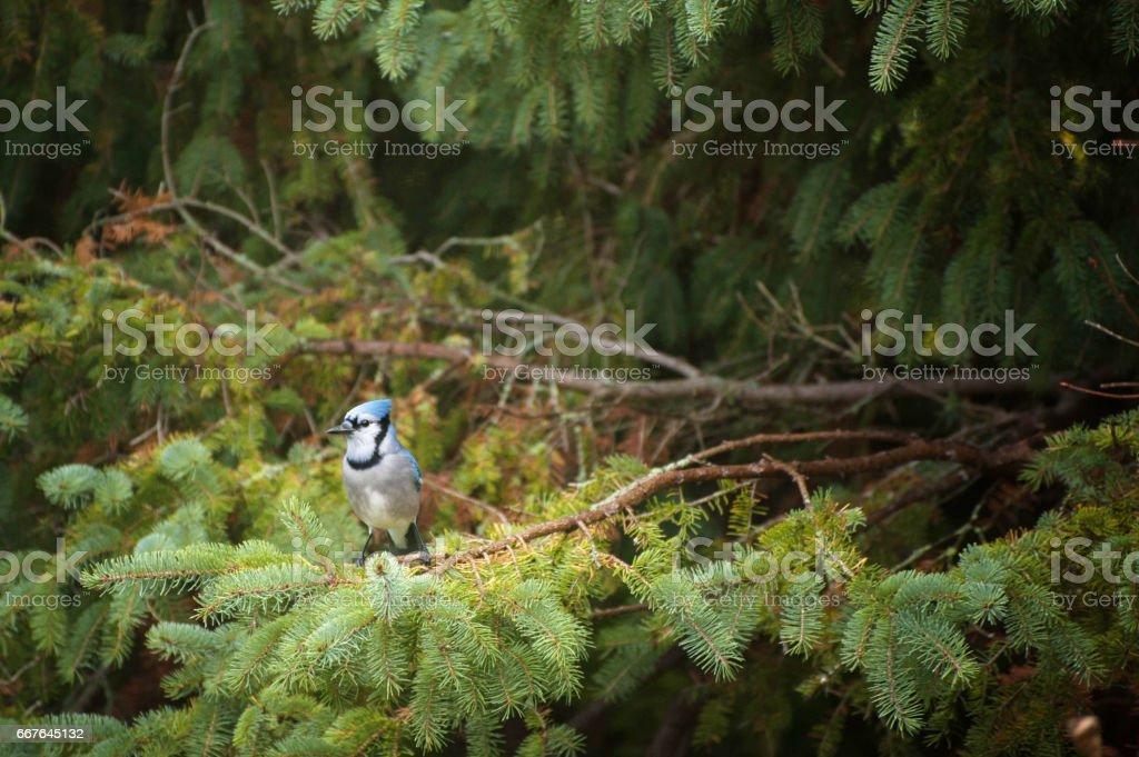 Blue Jay stock photo