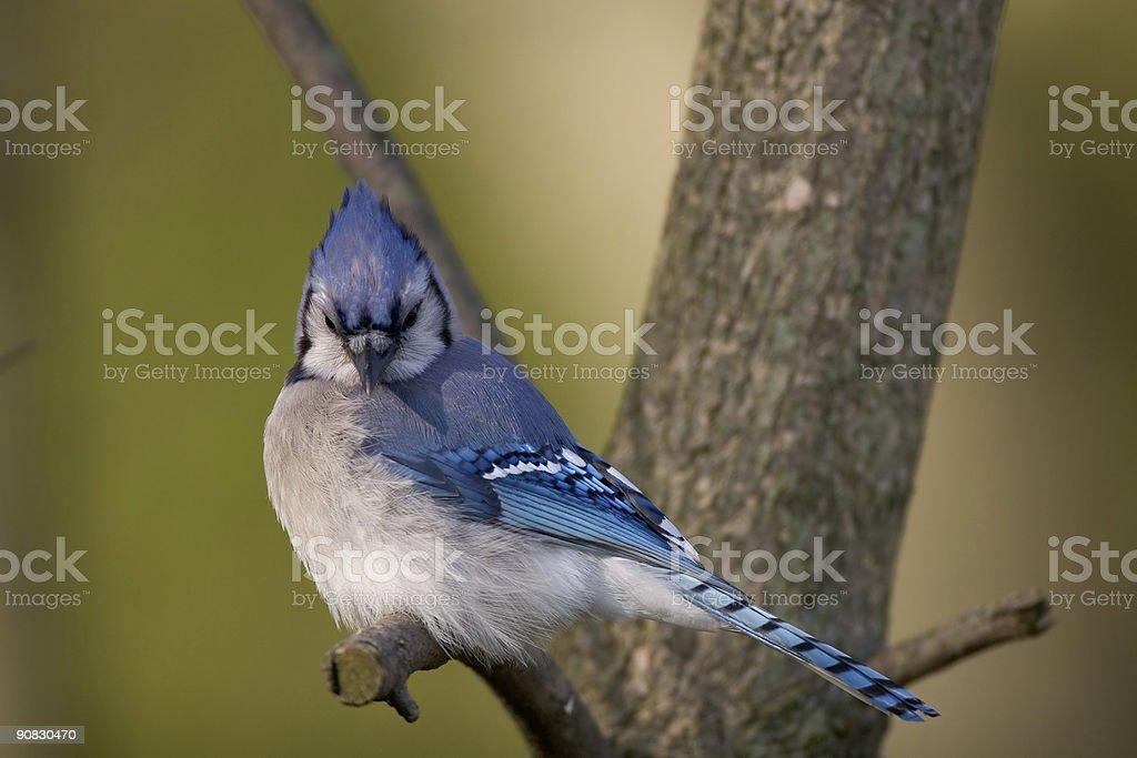 Blue Jay royalty-free stock photo