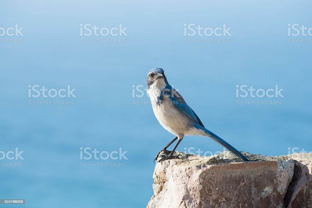 Blue Jay resting on a rock stock photo