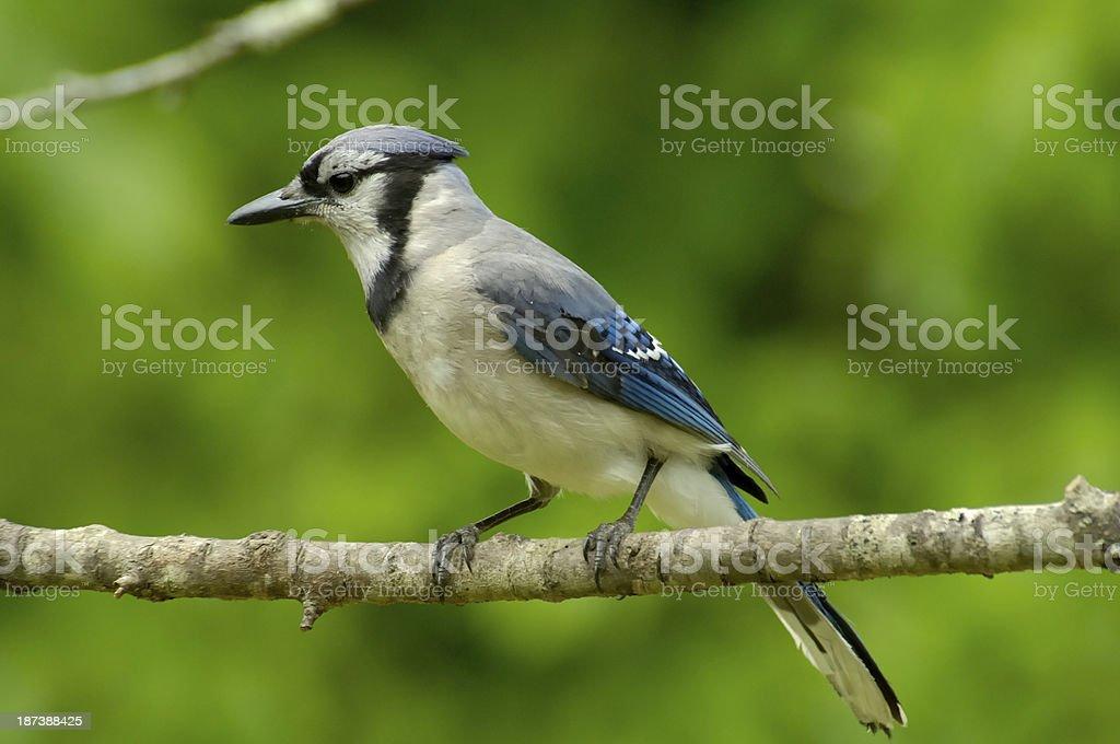Blue Jay (Cyanocitta cristata) sitting on a limb royalty-free stock photo