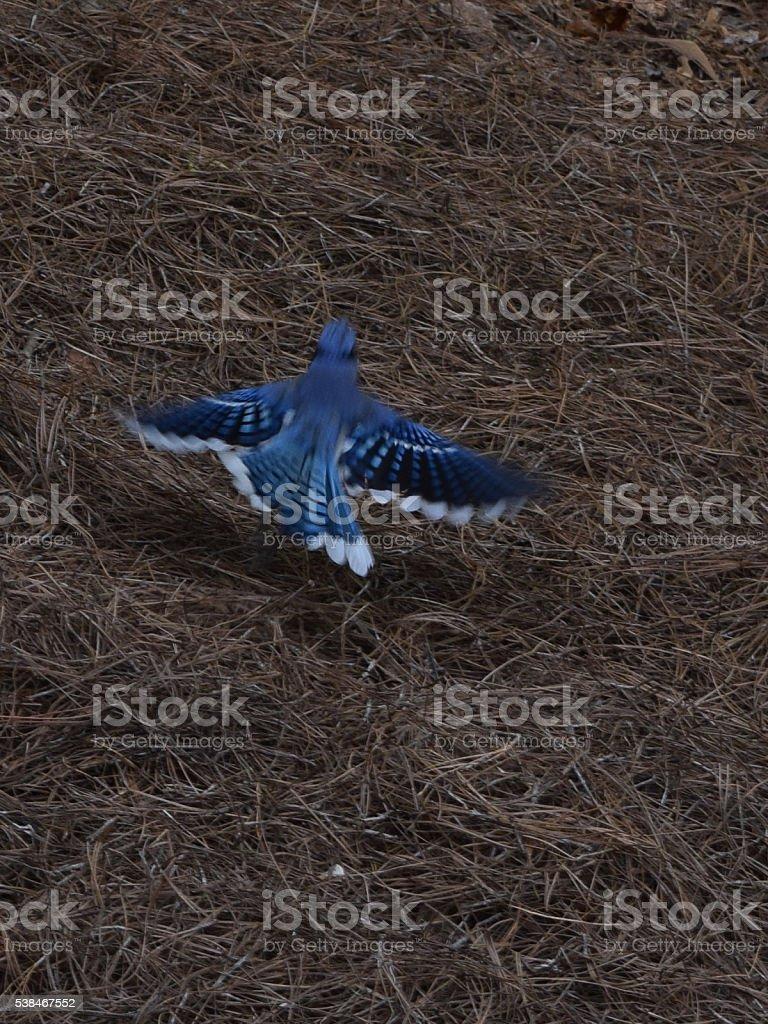 Blue Jay Takes Flight stock photo
