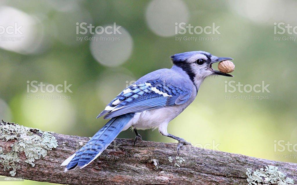 Blue Jay with a Peanut stock photo