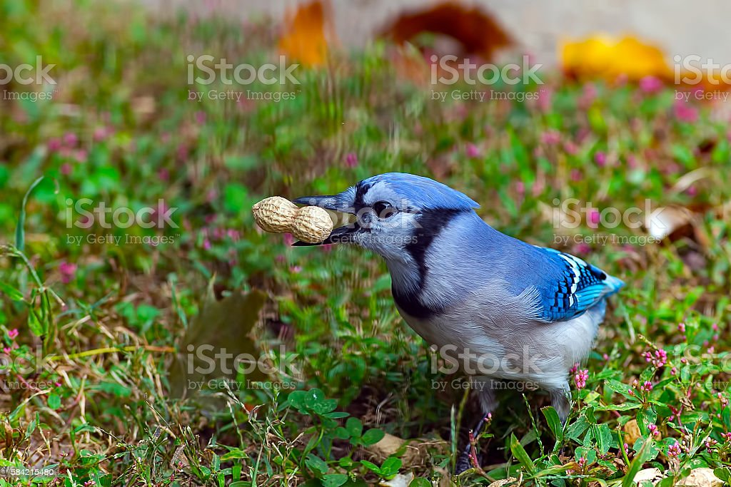 Blue Jay with Peanut stock photo