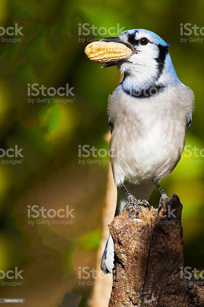 Blue Jay with Peanut stock photo