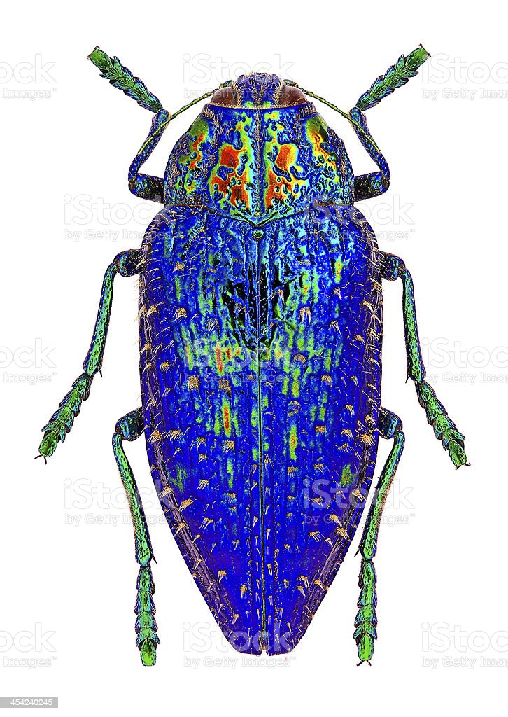 Blue jewel beetle stock photo