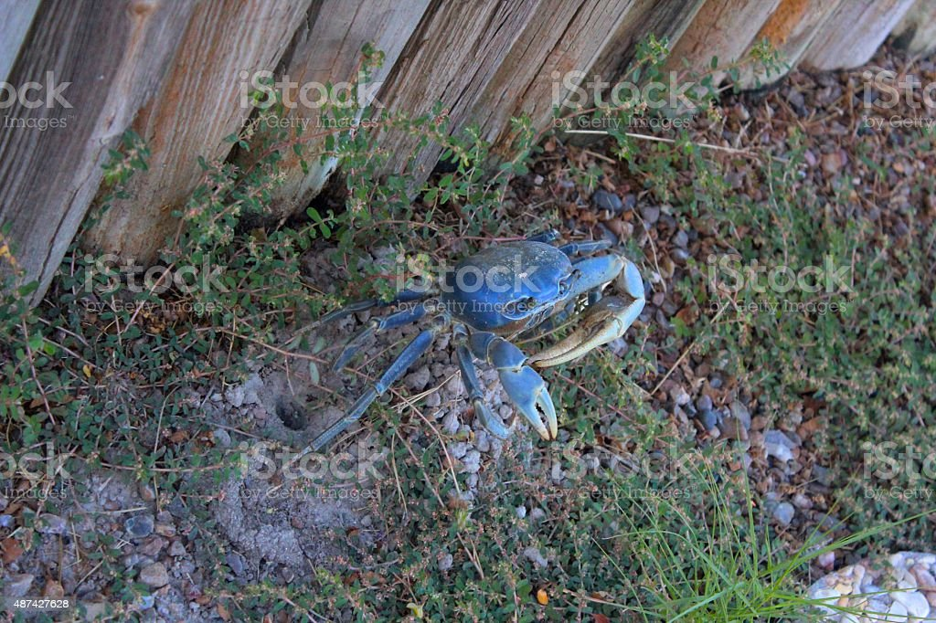 Blue Land Crab By Hole Near Fence stock photo