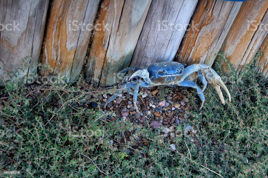 Blue Land Crab Crouching by Fence stock photo