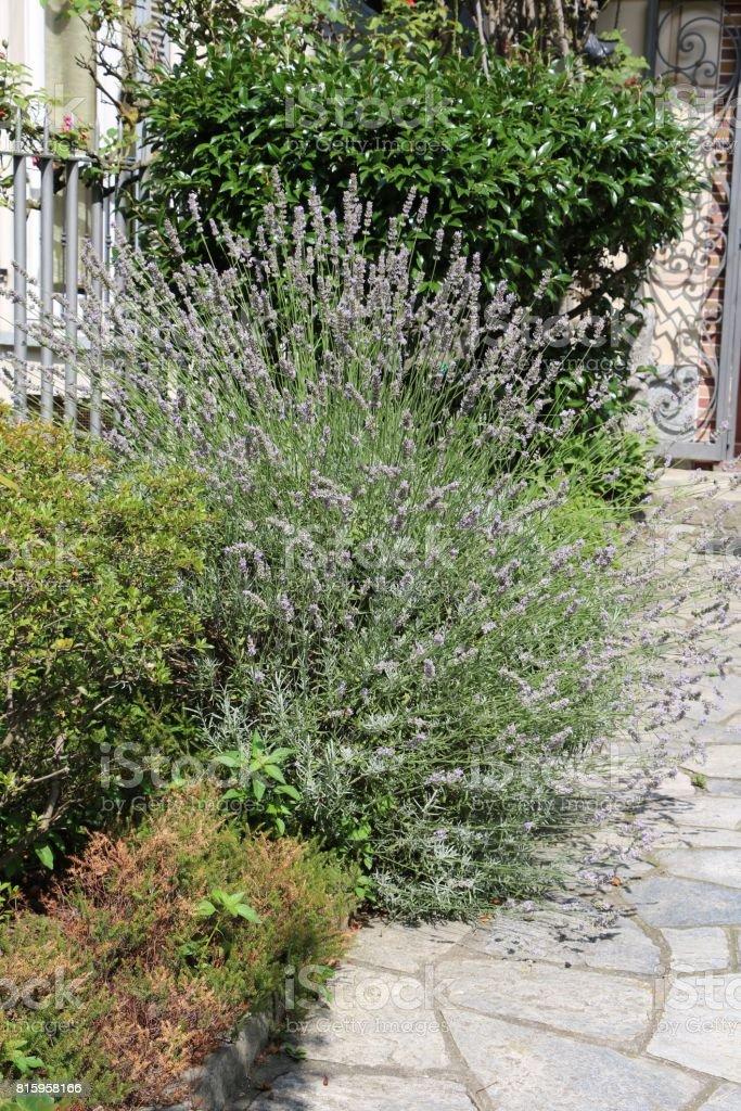 Blue lavender in summer in the garden stock photo