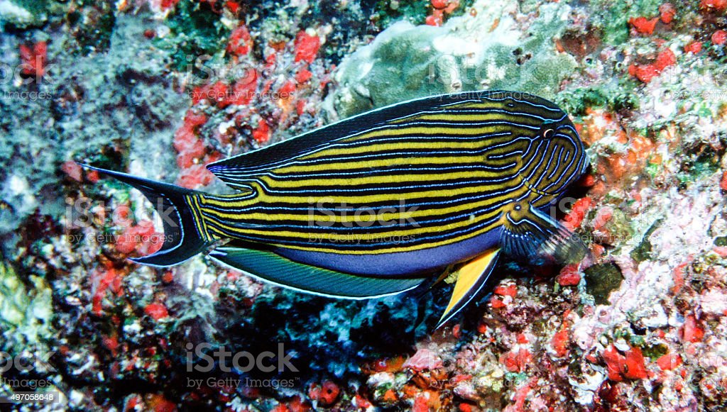 Blue Lined (Lined Surgeonfish) picking through coral - Thailand royalty-free stock photo