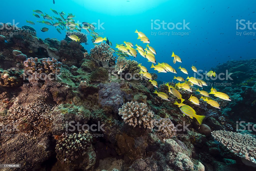 Blue lined snappers in the Red Sea. stock photo