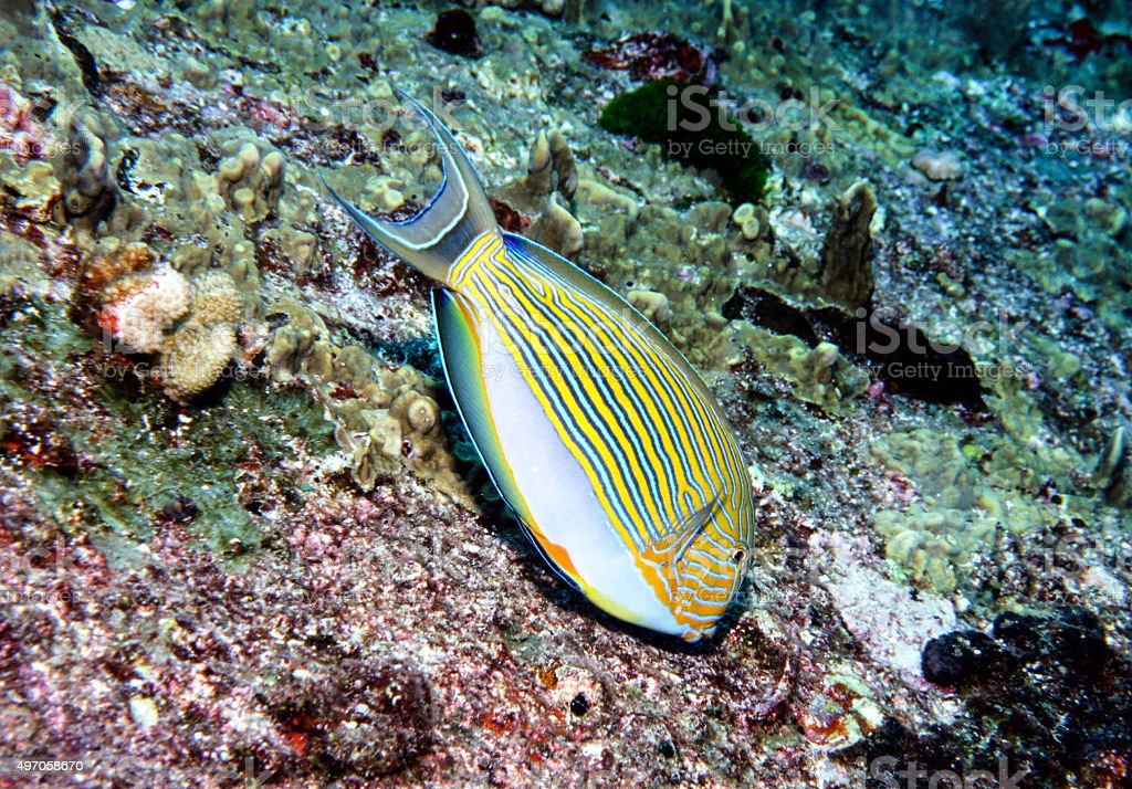 Blue Lined Surgeonfish - Thailand royalty-free stock photo