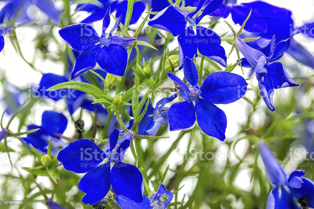 Blue lobelia (Lobelia erinus) closeup stock photo