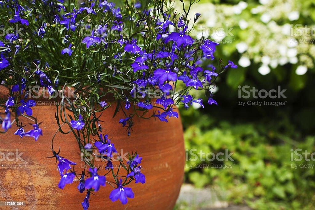 Blue lobelia in a terracotta pot on the terrace. stock photo
