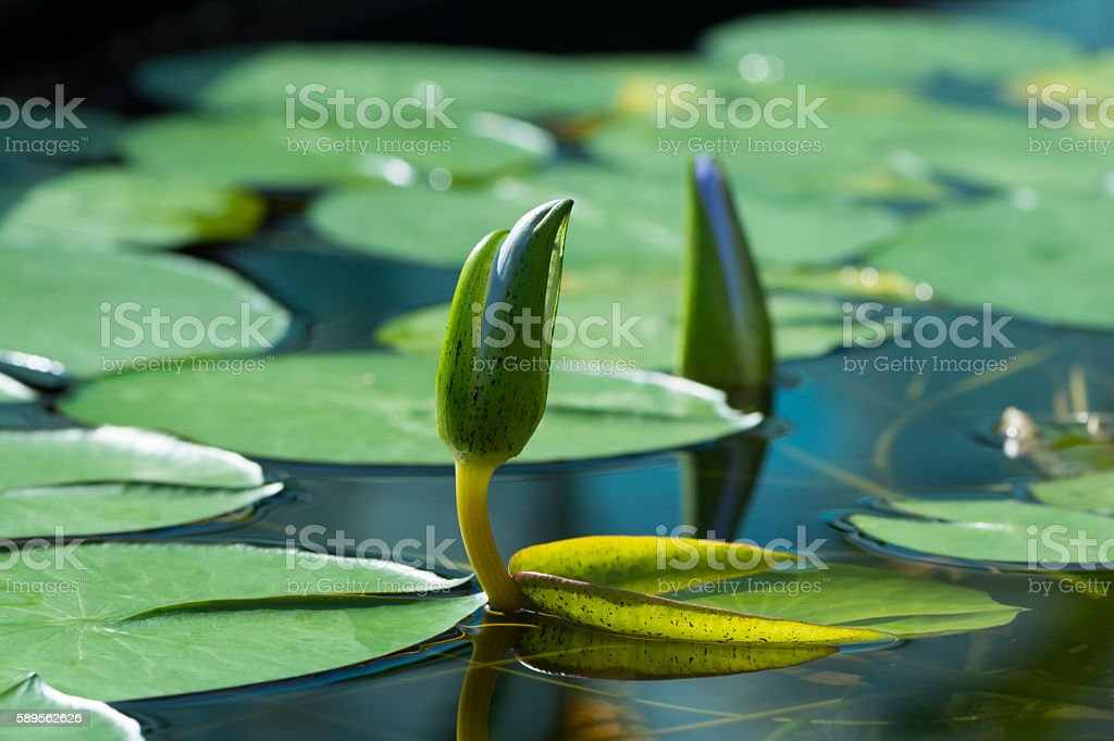 Blue Lotus of Egypt, Nymphaea Caerulea Waterlilies stock photo