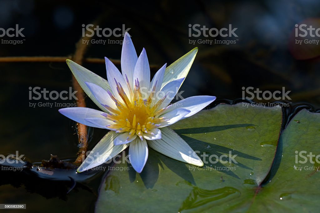 Blue lotus on very dark waters of the lake stock photo