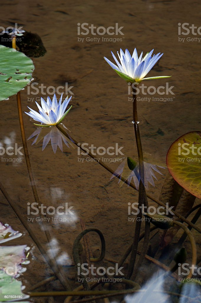 Blue lotus or blue waterlily stock photo