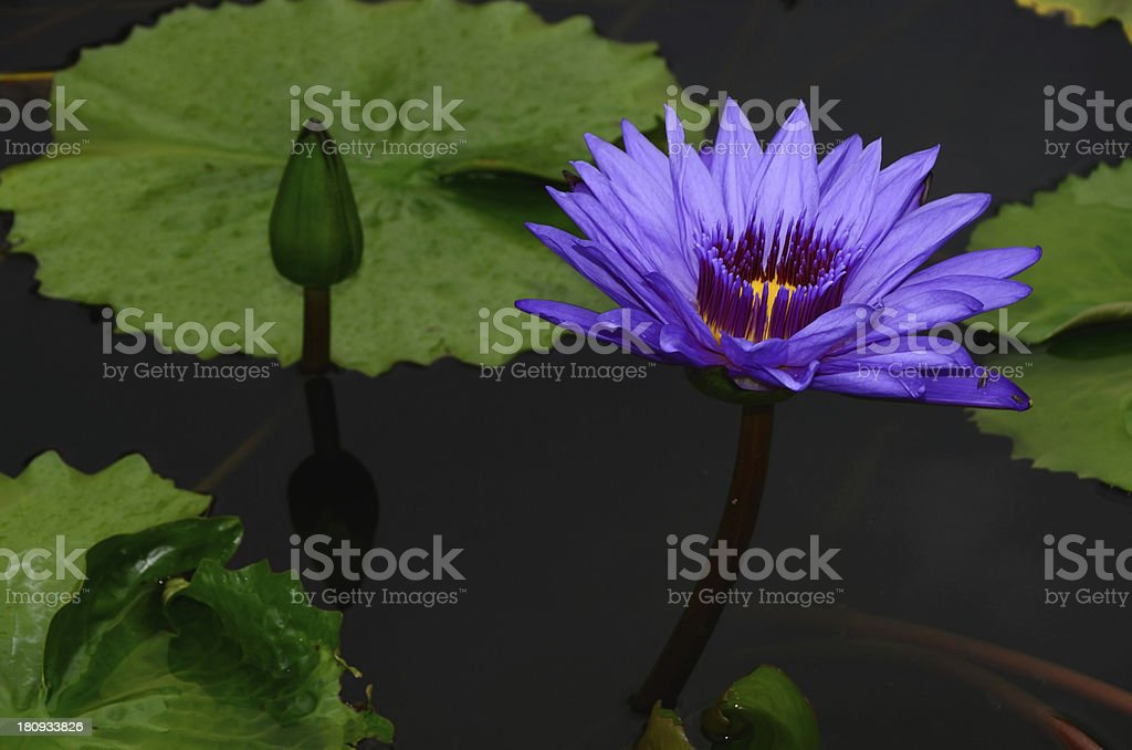 Blue lotus petals and purple pollen royalty-free stock photo