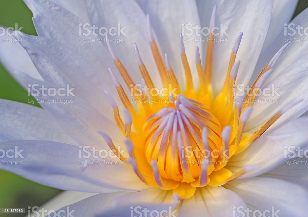 Blue Lotus stock photo