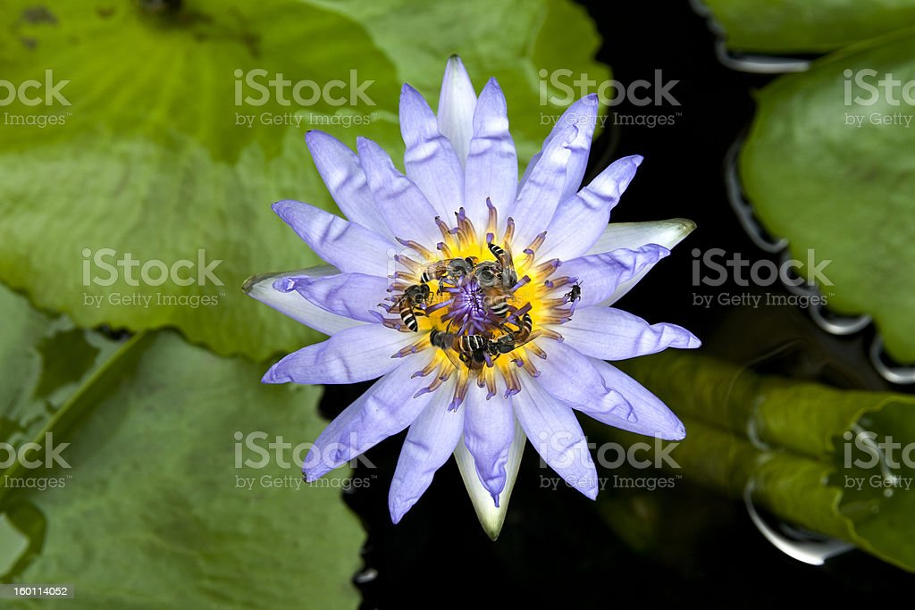 Blue lotus with 7 bees stock photo