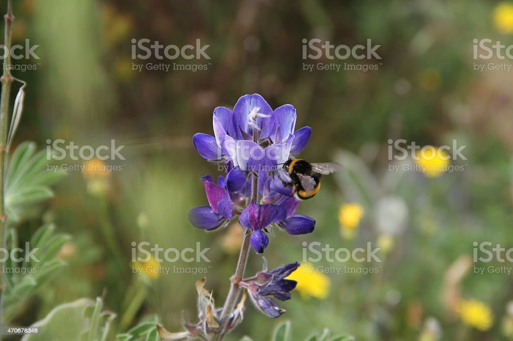 blue lupine and bee stock photo