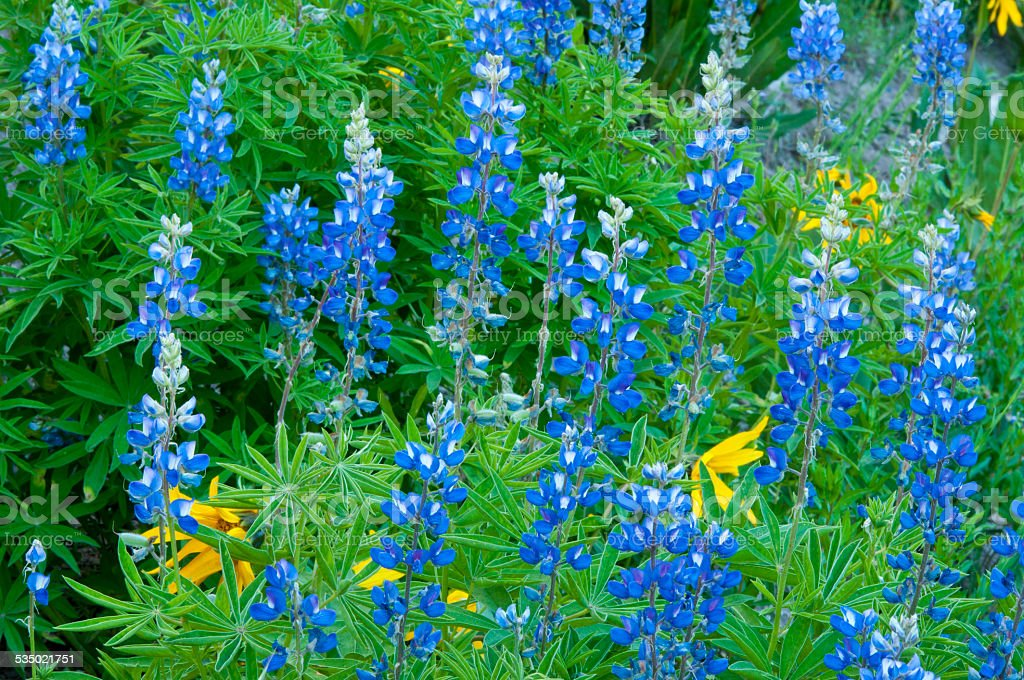 Blue Lupine blooming in spring. stock photo