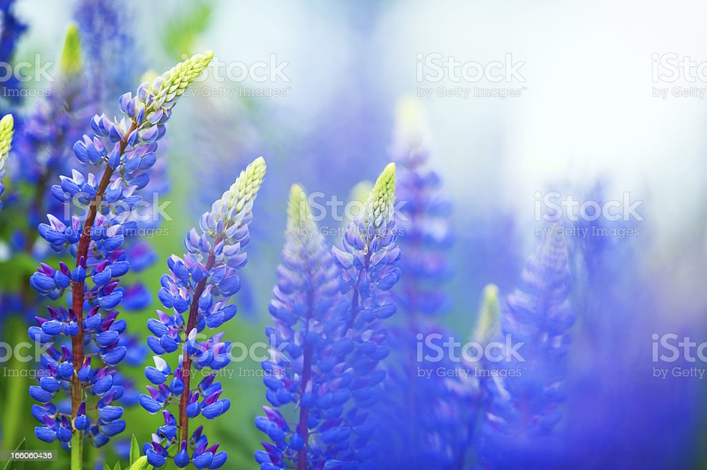 Blue lupines stock photo