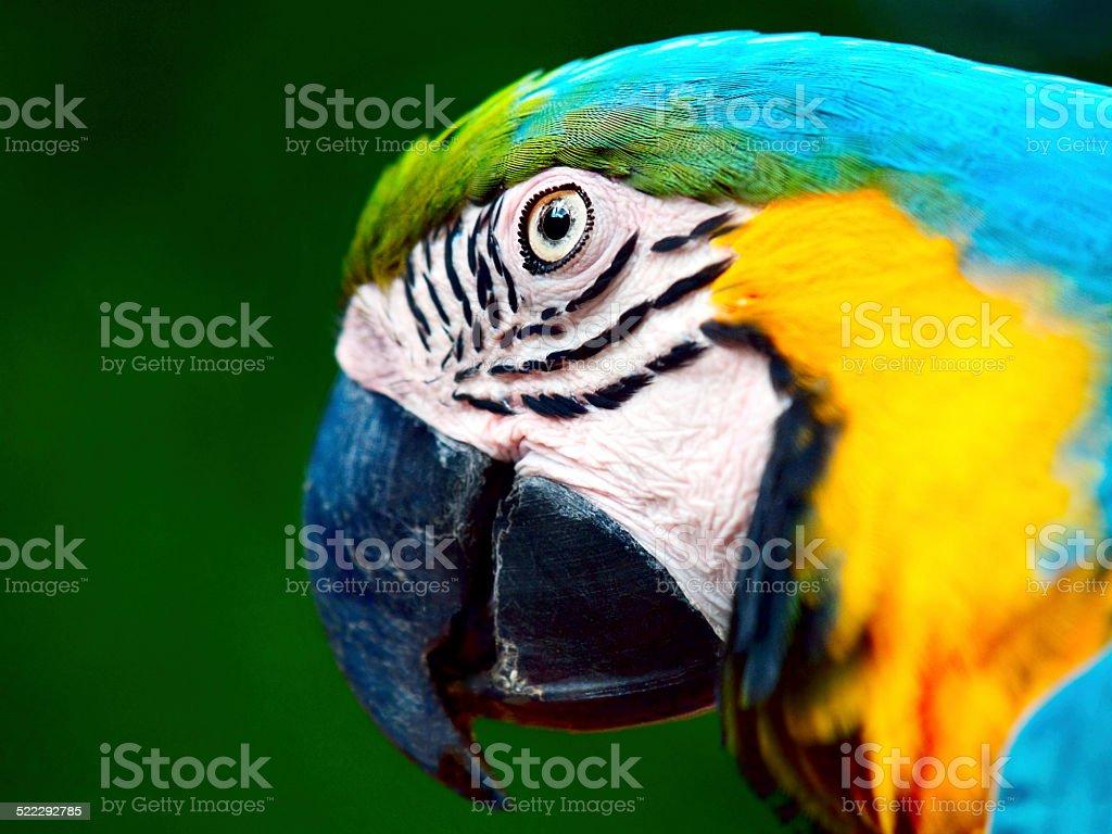 Blue Macaw or Ara Ararauna close-up head portrait stock photo