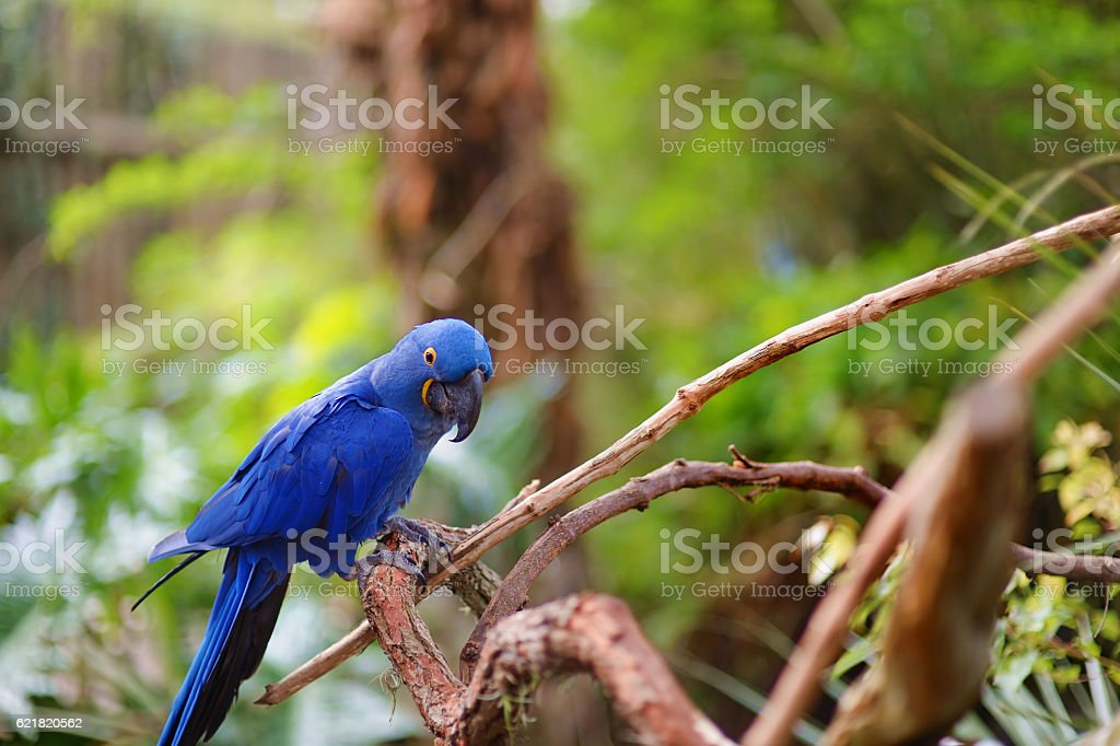 Blue macaw parrot on a branch stock photo
